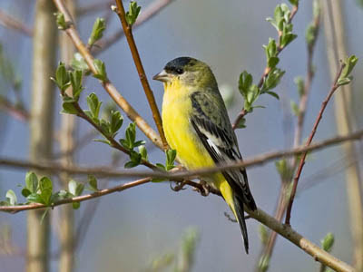 Photo of male Lesser Goldfinch in willows