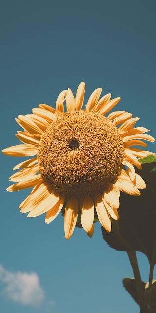 Sunflower wallpaper aesthetic
