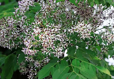 Chinaberry plant