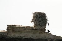 Osprey near its nest on a tiny island near Abu Dhabi City – Notice the scale! – June 4, 2014 – Sjahanmi