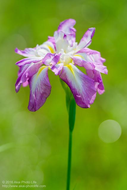 昭和記念公園で撮影した八重咲きのような花菖蒲の写真
