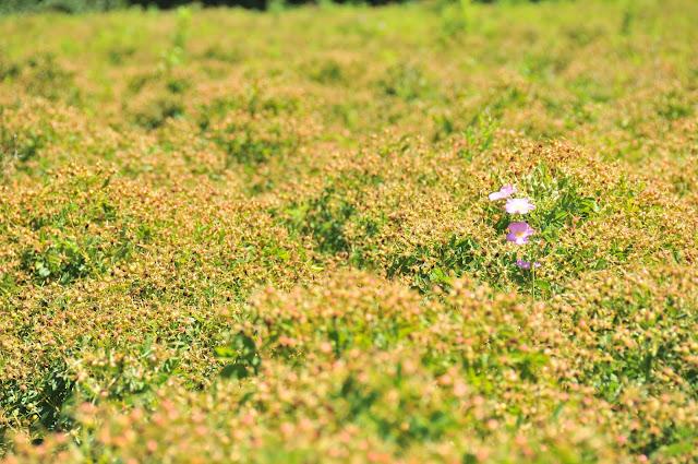 Field of rosehips Willow Creek