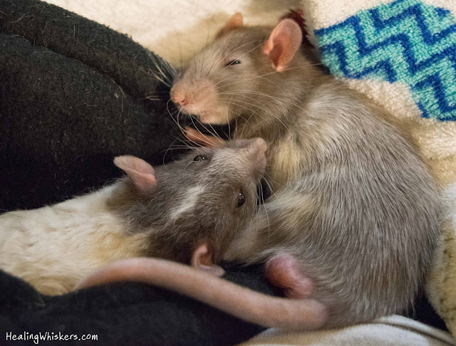 Vincent and Xavier the pet rats sleeping