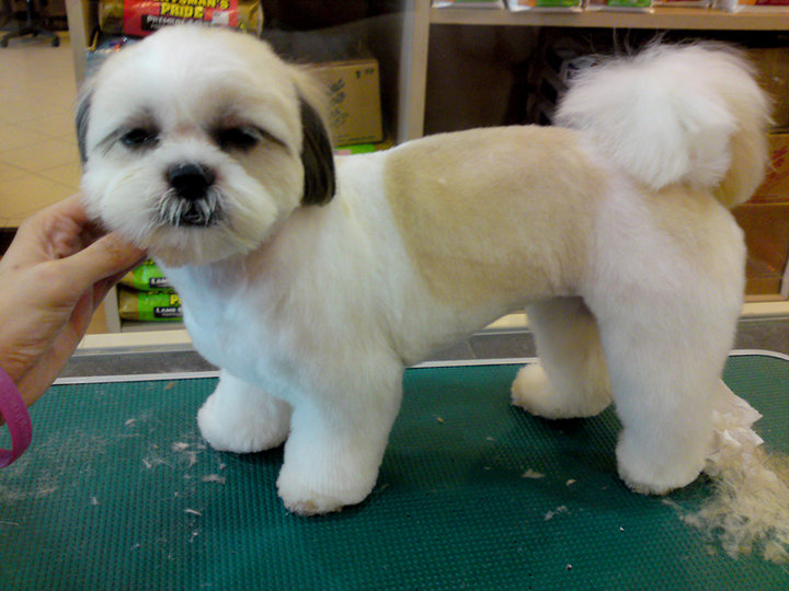 puppy cut shih tzu shear perfection shih tzus the spunky lovable breed 6709