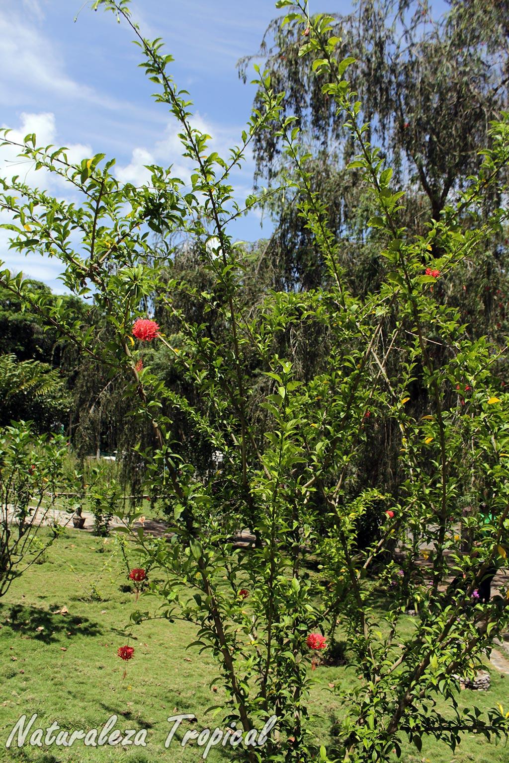 Naturaleza tropical conoce como cultivar al arbusto for Hibiscus arbol