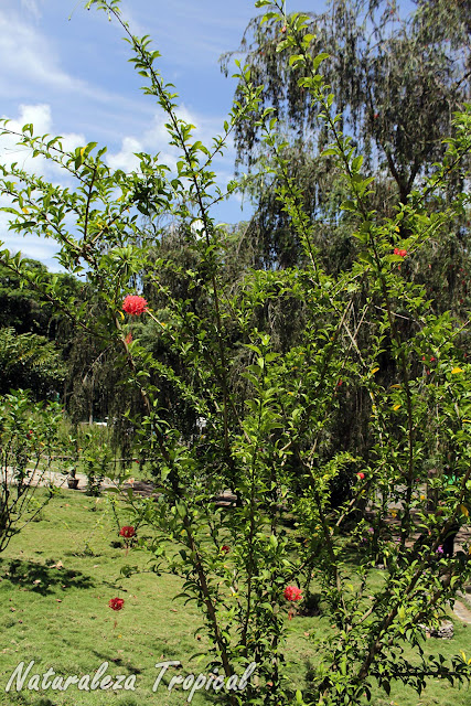 Vista de la planta del arbusto trepador Hibiscus schizopetalus