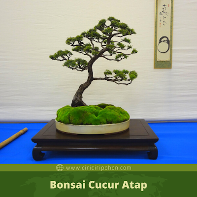 Bonsai Cucur Atap