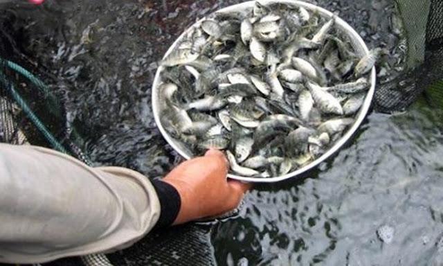 Info Supplier Jual Ikan Nila Bibit dan Konsumsi di Bandar Lampung, Lampung