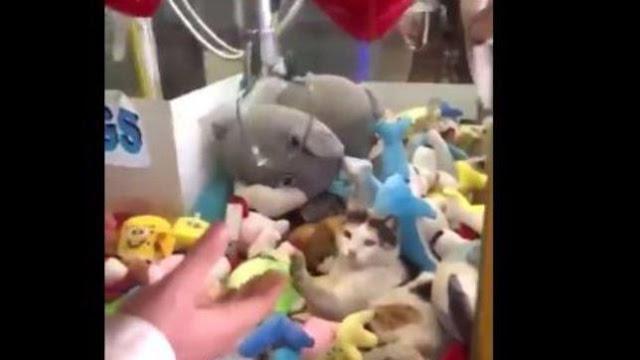 Buongiornolink - Sorpresa nel distributore di peluche all'interno c'è un gatto... vero