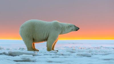 La belleza del Oso Polar