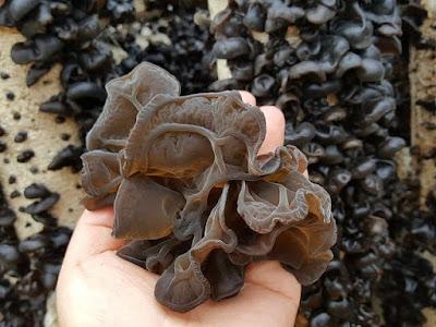 Judas ear mushroom supply