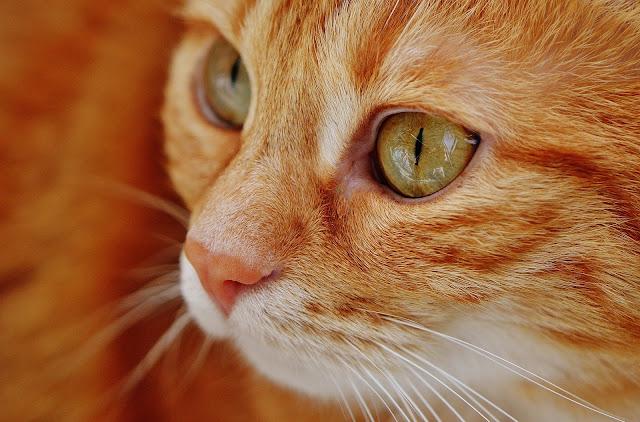 Orange Tabby Cat HD Wallpaper
