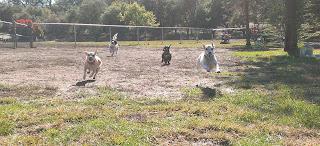 anjing-anjing berlari