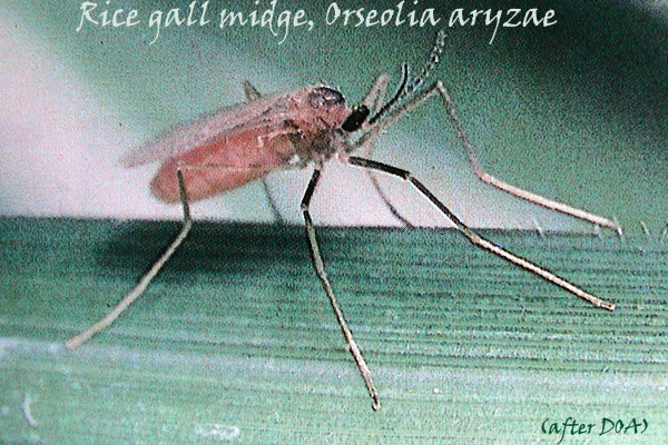 Agriculture Rice Insect Pests Pictures