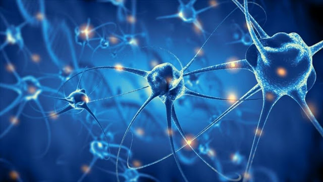 Neuronas se desarrollan hasta los 90 años