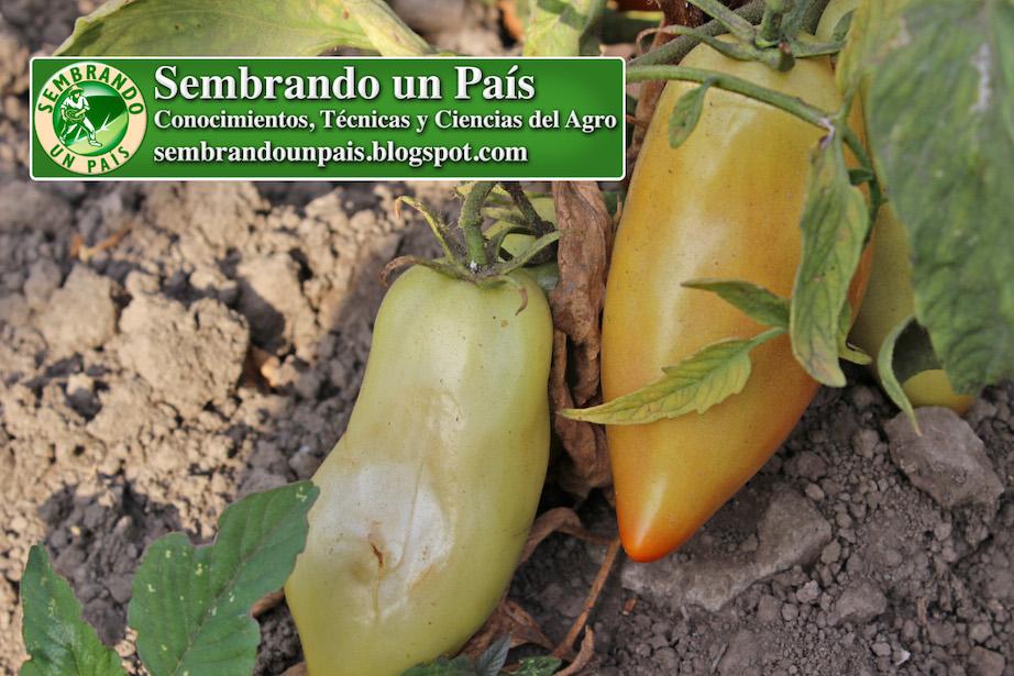 frutos de tomate alargados en planta