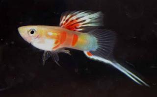 أسماك الطاووس الصينية الرائعة الجمال سبحــــــان الله image01716-743651.jp