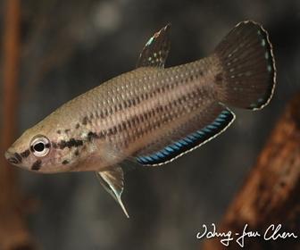 Jenis Ikan Cupang Spesies Betta Simplex