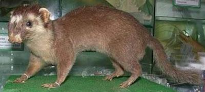 Turòn de Borneo (Melogale everettii)