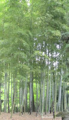 clump of bamboo