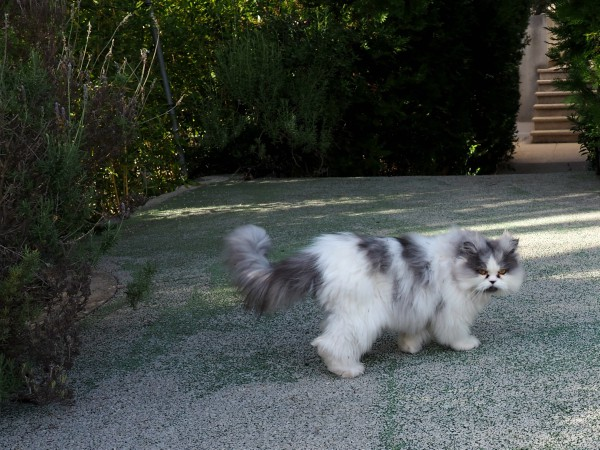 mallorca persian cats
