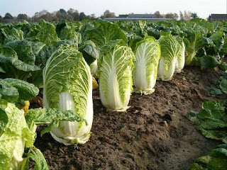 Napa Cabbage (Chinese Cabbage)