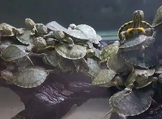 baby-kura-kura-brazil.jpg