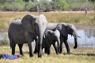 Contoh Hewan Vivipar Gajah