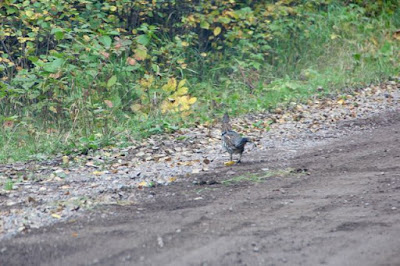 "ruffed grouse headed for the ""back country"""