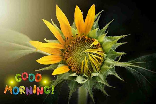 very beautiful good morning image of sun flower