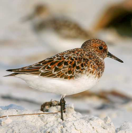 Bird World - Image of Sanderling - Calidris alba