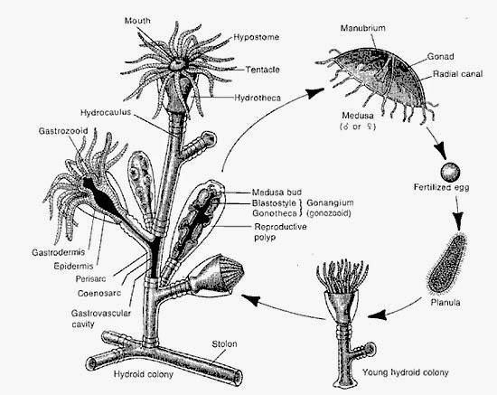 Turritopsis nutricula - Água-viva imortal  esquema