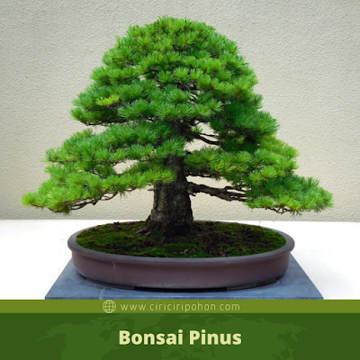 Bonsai Pinus