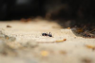 manfaat mengkonsumsi semut jepang