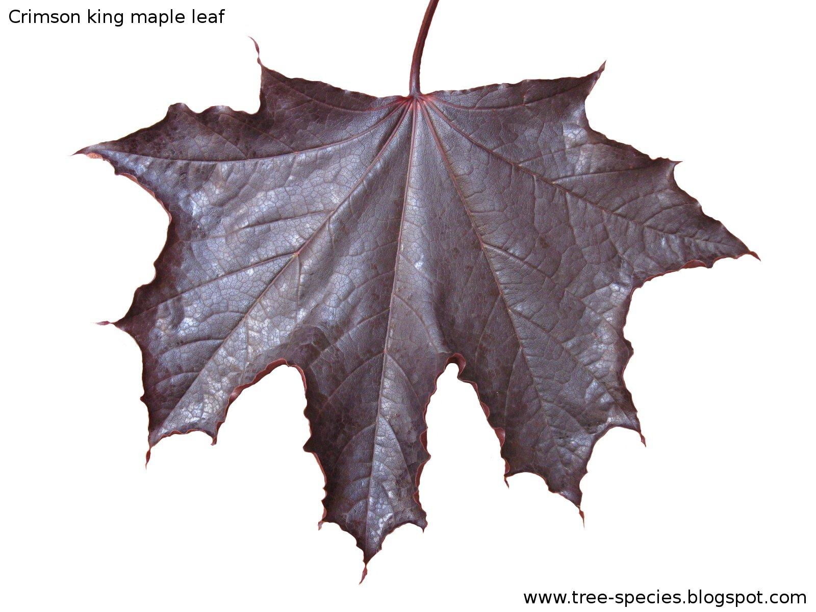 The World S Tree Species Crimson King Maple Leaf