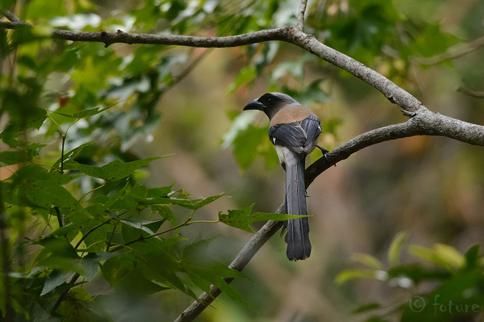 Hiina ruskharakas, Dendrocitta formosae formosae, Grey Treepie, harakas