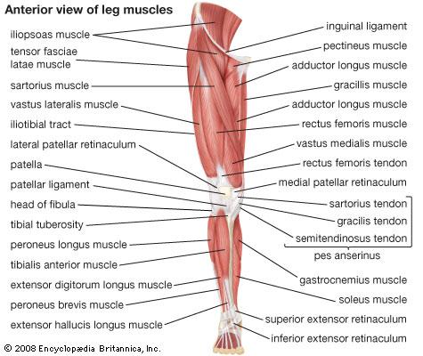 diagram of lower limb muscle diagram of lower leg pain #3