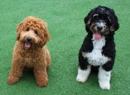Bernedoodle-and-Goldendoodle-origin