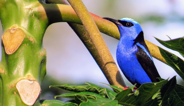 Costa Rica Birds: Shining honeycreeper
