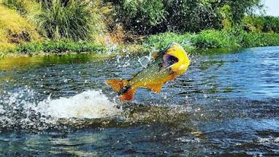 Habitat Ikan Golden Dorado