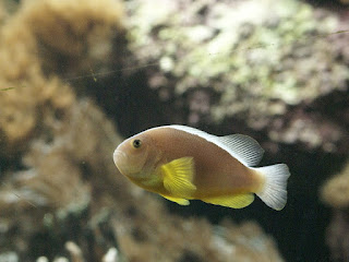 Poisson-clown mouffette - Amphiprion akallopisos
