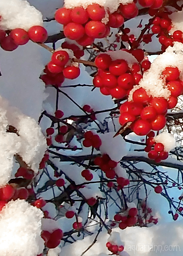 Holly Berries Photo by Aquariann