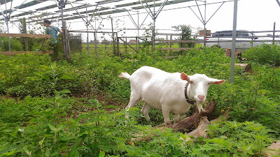 Goat weeding on solar sharing farm in Tsukuba, Japan