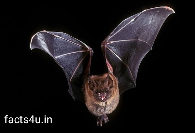 Unkown facts about bats that you never heard