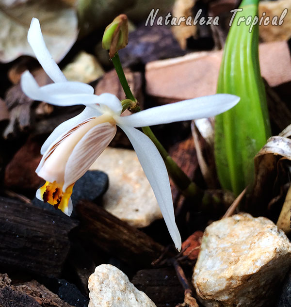 Vista lateral de la flor de la orquídea Coelogyne viscosa o Coelogyne graminifolia