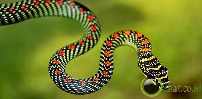 Ular terbang (flying snake)