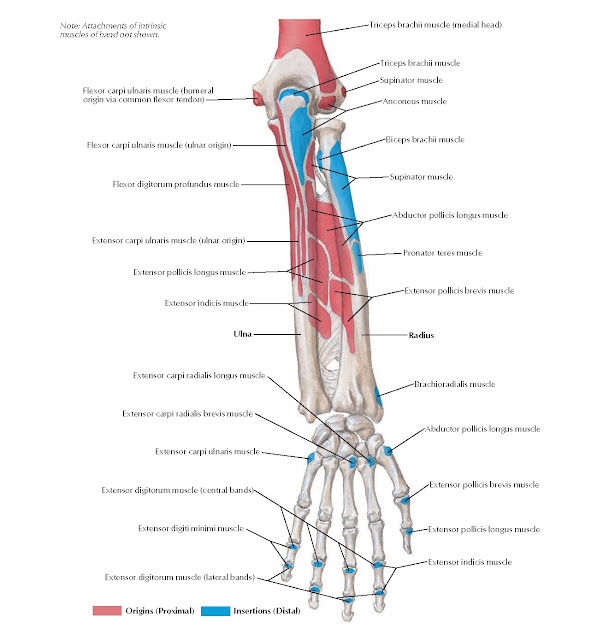 Attachments of Muscles of Forearm: Posterior View Anatomy