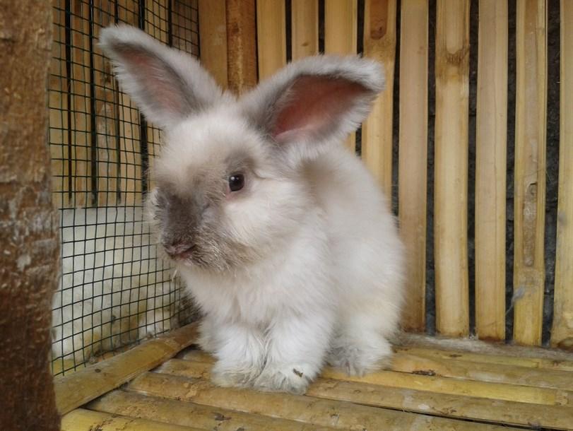 Tipe Kelinci untuk Dipelahara di Rumah