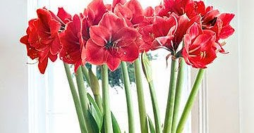 Tales Of An Interior Stylist Holiday Home Start Your Amaryllis
