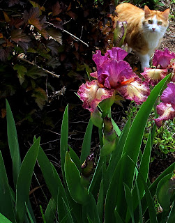 frank cat and purple iris swords